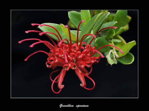 Red Grevillea 2